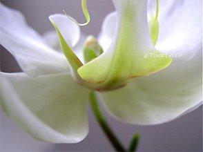 Fotografie - orchidea 02 - 3528825